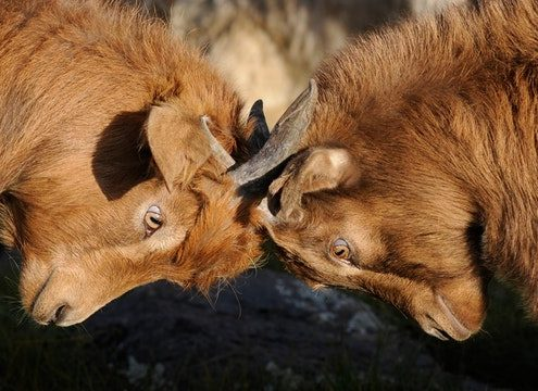 goats locked horns